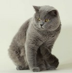 british_shorthair
